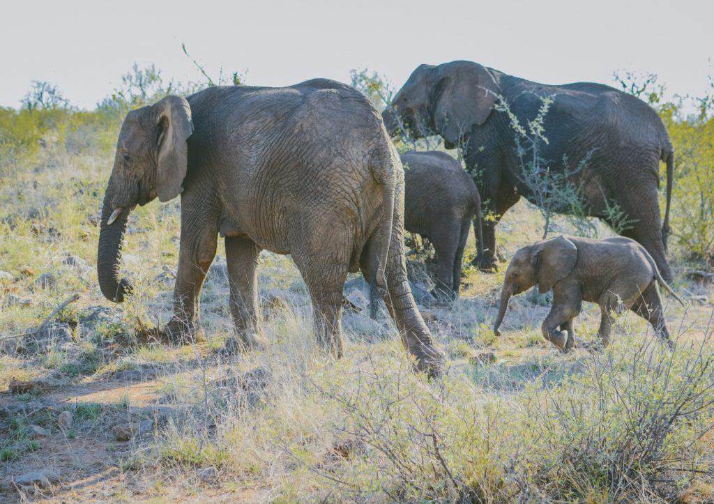 Madikwe, Elephants, Nature, Travel, Safari